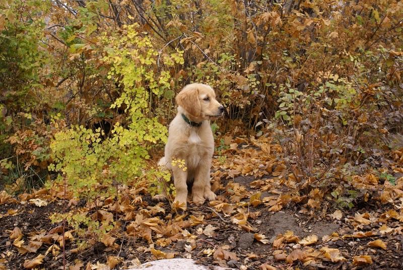 Golden Plains Goldens – Breeding Golden Retrievers in